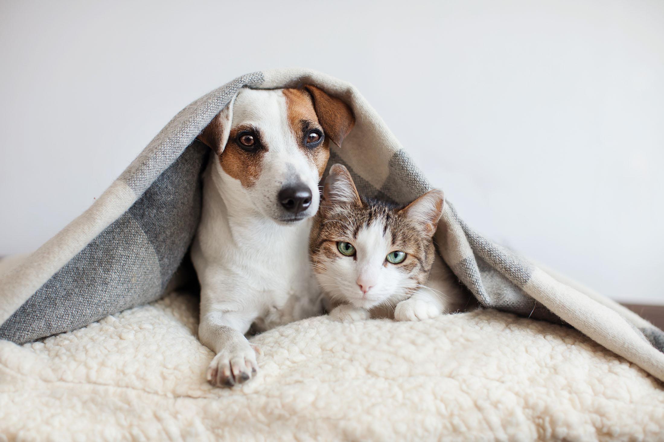 Un perro y un gato bajo una manta. EL perfil de las mascotas